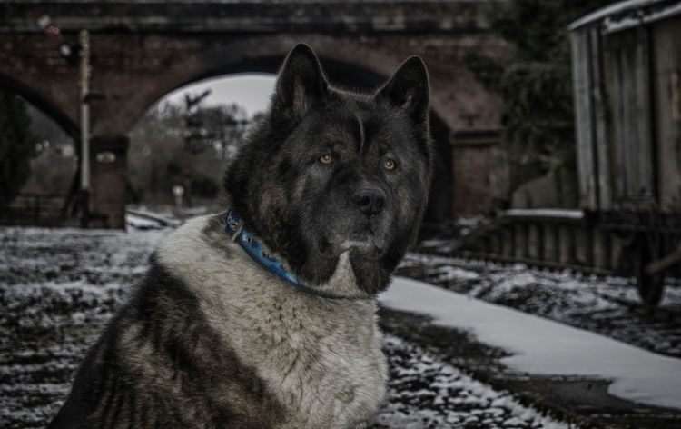 Zeus waiting for the train. Akita Akita Waiting At Station American Akita Hachi Animal Head  Canine Close-up Dog Focus On Foreground Mammal No People One Animal Pets First Eyeem Photo