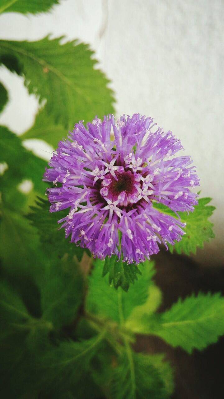 flower, purple, nature, growth, plant, no people, blooming, beauty in nature, fragility, close-up, outdoors, day, flower head, freshness