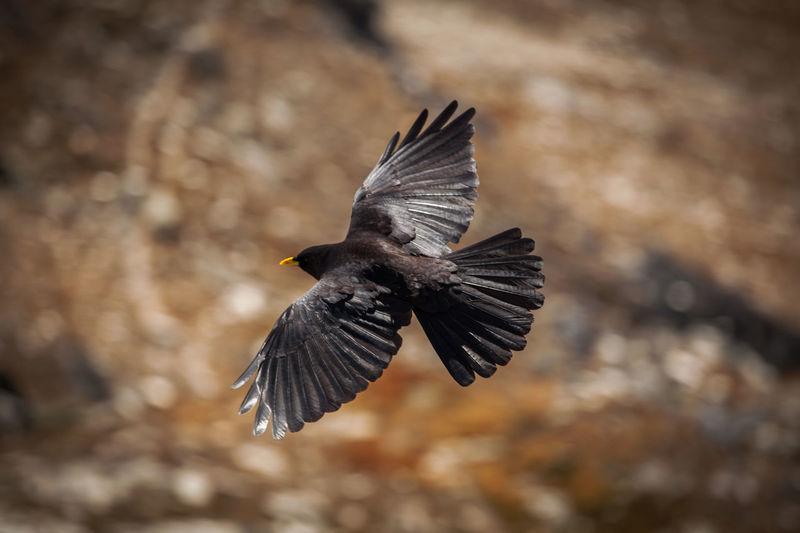 Close-up of blackbird flying