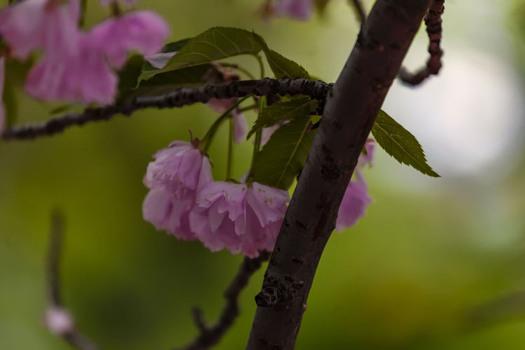 cherry blossoms Cherry Blossoms Spring Flowers Spring Foliage Nature Botany Beauty In Nature Springtime Spring Colors