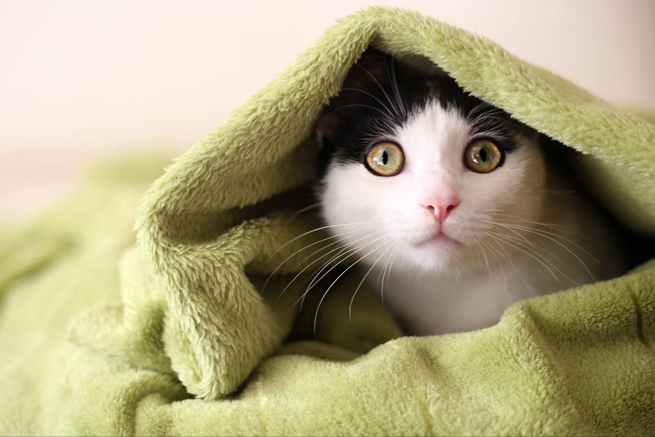 domestic cat, animal themes, cat, one animal, pets, feline, indoors, domestic animals, portrait, looking at camera, whisker, mammal, close-up, relaxation, staring, animal eye, alertness, animal head, focus on foreground, bed