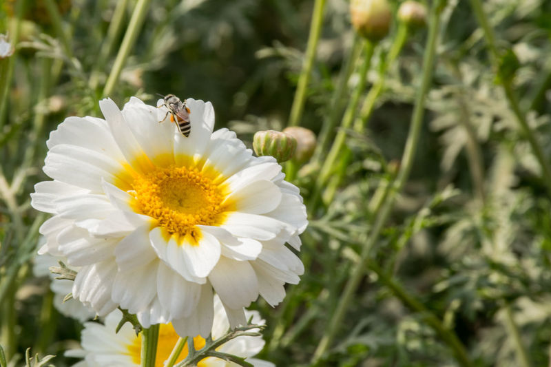 Wallpaper Desktop Wallpaper Desktop Wallpaper Flower Head Flower Petal Insect Bee Yellow White Color Close-up Animal Themes Plant Stamen Daisy Day Lily Botany Wildflower Flowering Plant Blossom Pistil Uncultivated Focus Hibiscus Pollen In Bloom Lily Plant Life Gerbera Daisy