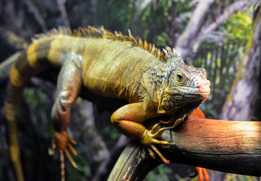 Reptile Lizard Animal Wildlife Iguana One Animal Animal Tree Animals In The Wild Close-up Branch Animal Themes No People Chameleon Outdoors Nature Day Camouflage
