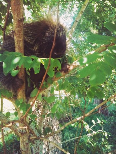 Porcupine hiding in small tree Nature Outdoors Tree