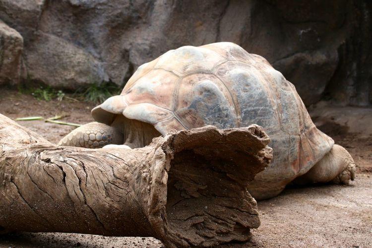 Giant tortoise by tree trunk on field