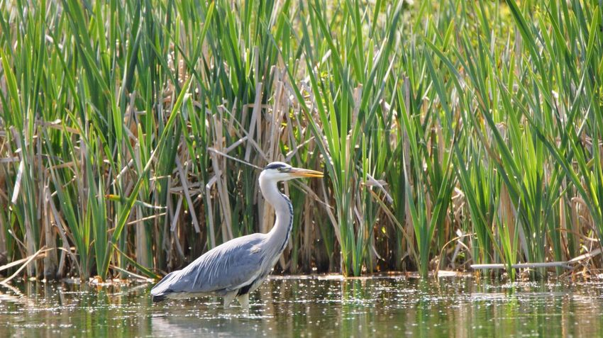 Animal Animal Themes Animal Wildlife Animals In The Wild Beauty In Nature Bird Day Grass Heron Lake Nature No People One Animal Outdoors Plant Reflection Vertebrate Water Water Bird