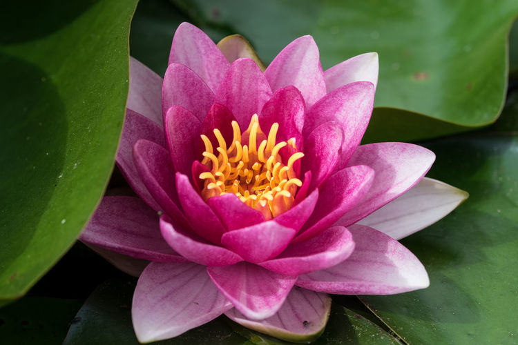 High angle view of water lily blooming in pond