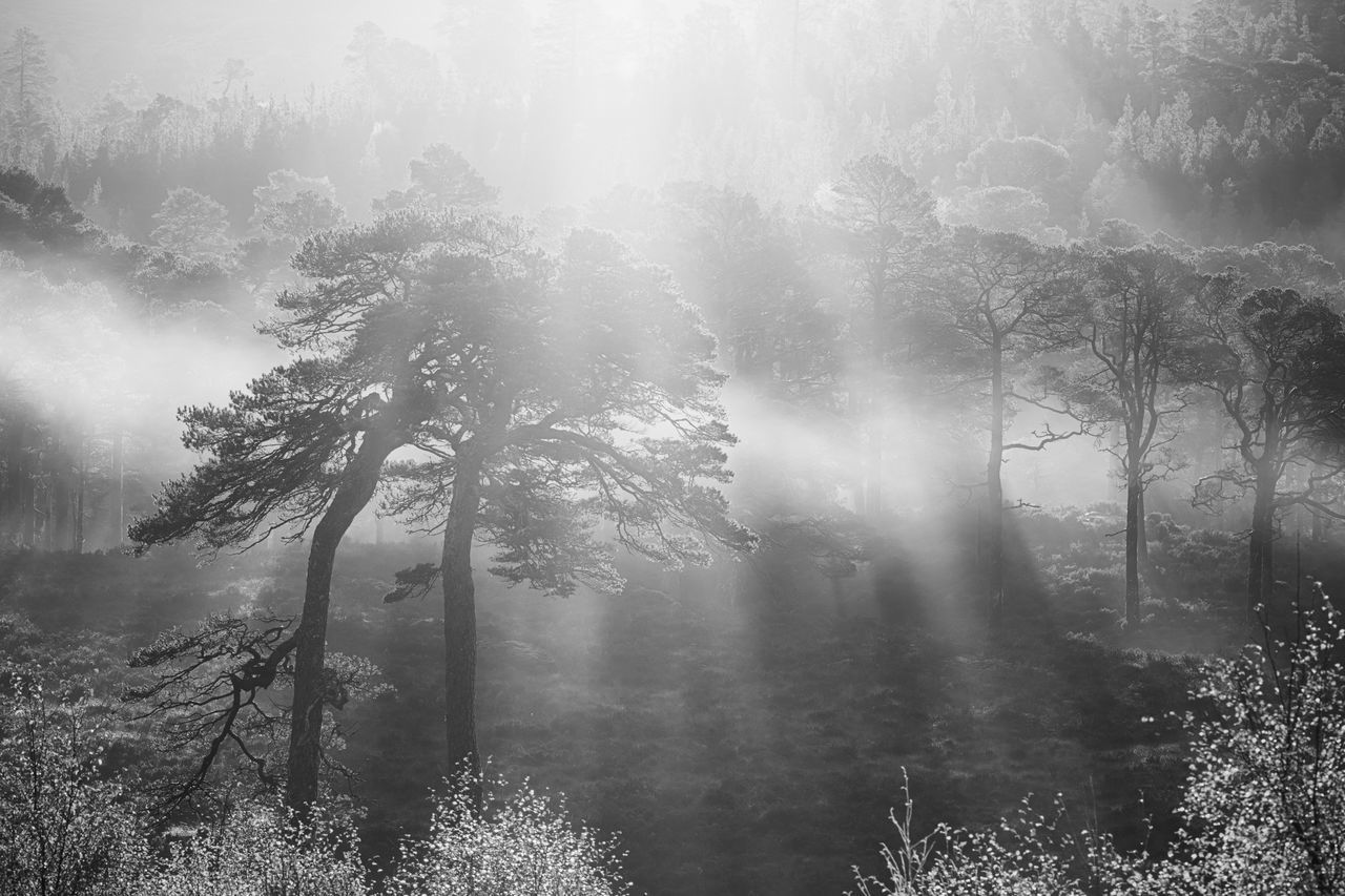 tree, fog, nature, tranquility, beauty in nature, no people, scenics, outdoors, tranquil scene, forest, day, growth, mist, tree trunk, sunlight, landscape, hazy, branch, sky