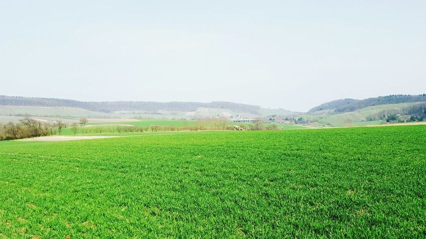 Agriculture Crop  Growth Rural Scene Vegetable Field Green Color Nature Freshness No People Day Outdoors Beauty In Nature Healthy Eating Sky Irrigation Equipment Food