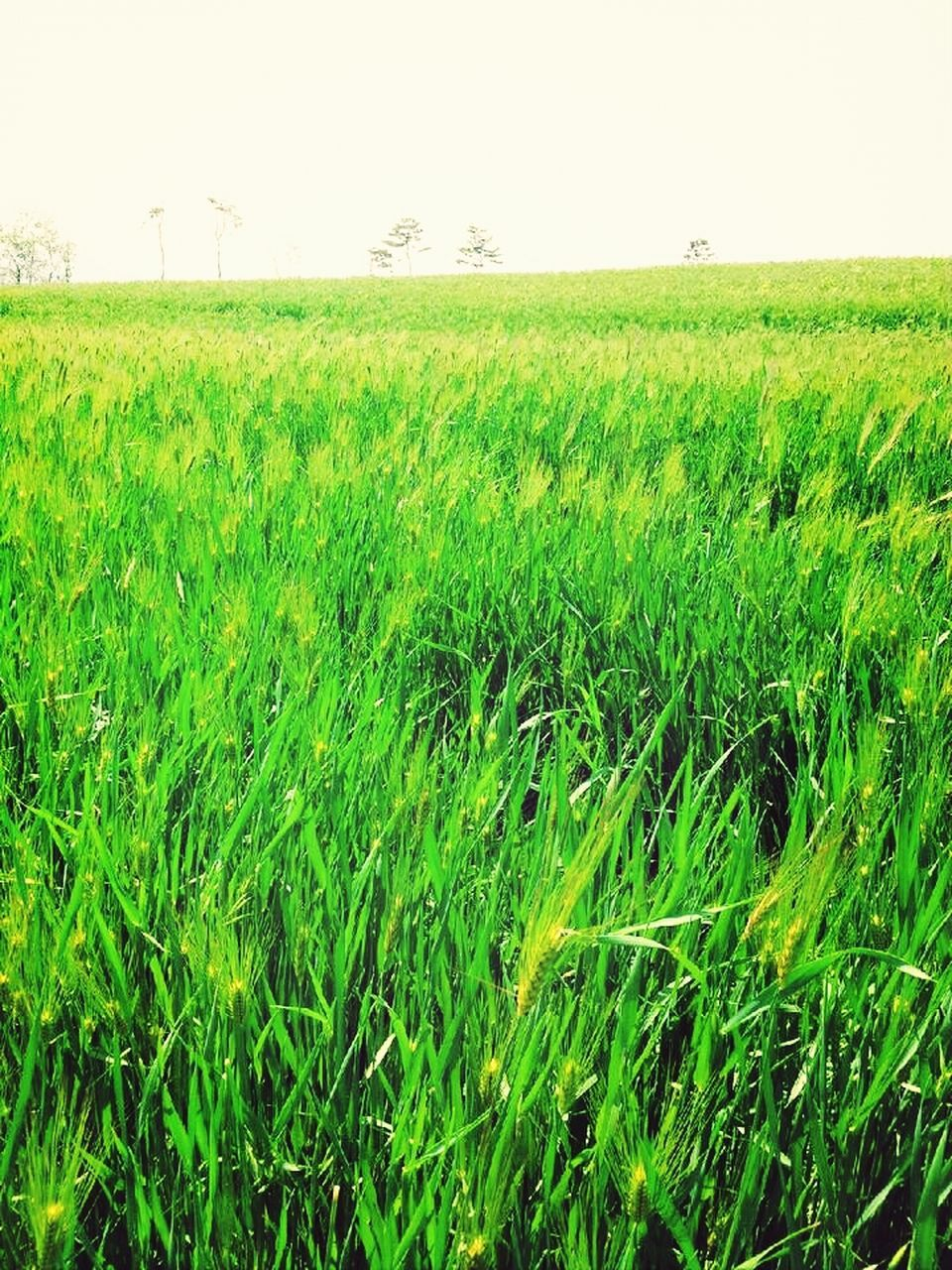 agriculture, field, nature, farm, growth, landscape, crop, rural scene, clear sky, beauty in nature, grass, no people, tranquility, green color, outdoors, day, scenics, wheat, cereal plant, freshness, sky