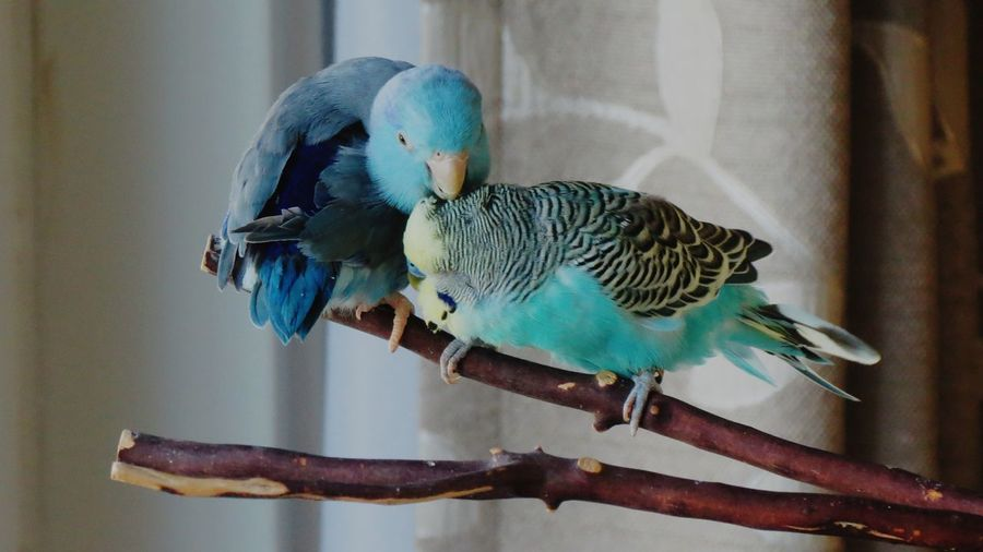 Budgerigars perching on wood