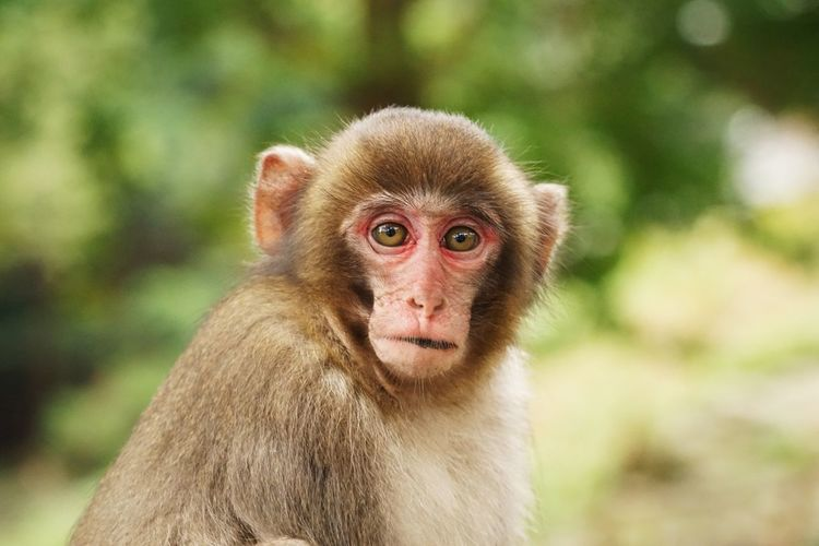 Close-up portrait of japanese macaque