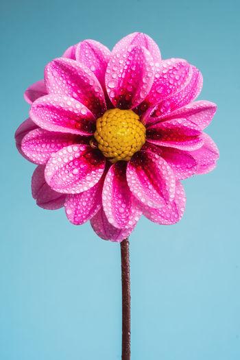 Wet Pink Dahlia