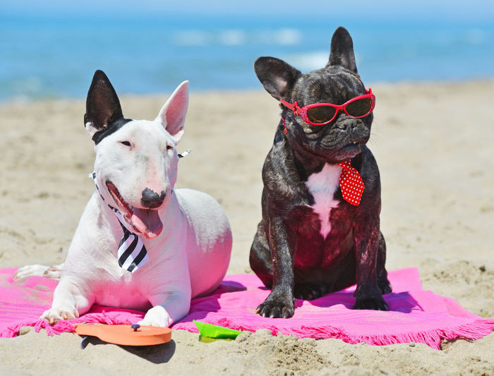 Close-Up Of Dogs Wearing Sunglasses And Necktie Sitting At Beach