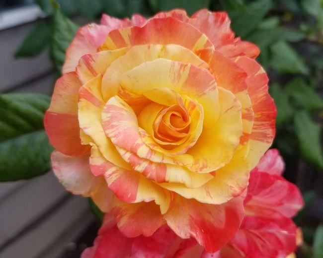 Lovingsummer Flowerporn Roses Flowers  Roses Noeditneeded Flower Head Pink Color Yellow Petal Rose - Flower Close-up Plant