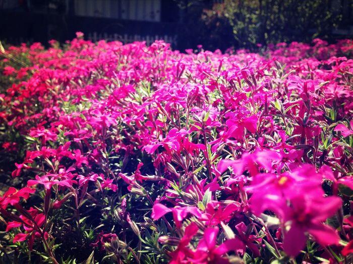 Garden Mossphlox 芝桜 Phloxsubulata