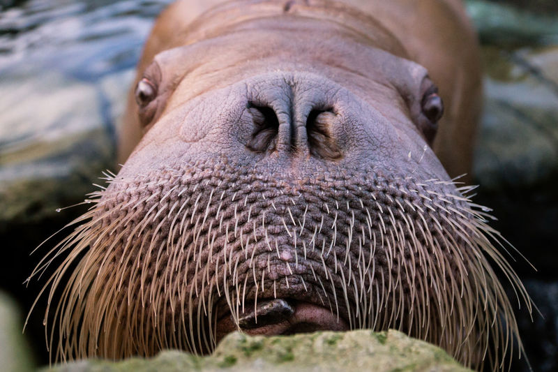 Moustache champion Facial Hair Tongue Out Animal Head  Animal Mouth Animal Nose Animal Themes Built Structure Close-up Looking At Camera Moustache ♥ Portrait Tongue Walrus