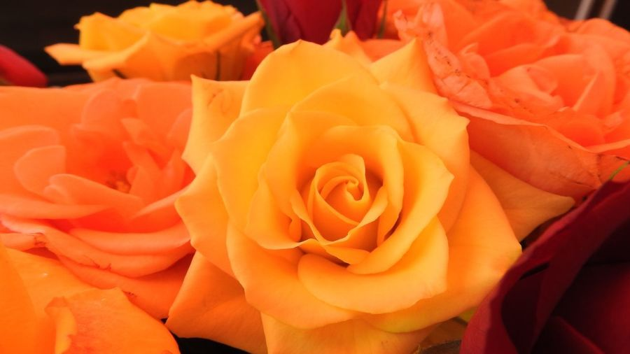 Close up of yellow and orange Rose blossoms Orange Yellow Flower Flowering Plant Beauty In Nature Petal Rosé Plant Fragility Flower Head Inflorescence Vulnerability  Close-up Freshness Rose - Flower Orange Color No People Growth Nature Focus On Foreground Outdoors