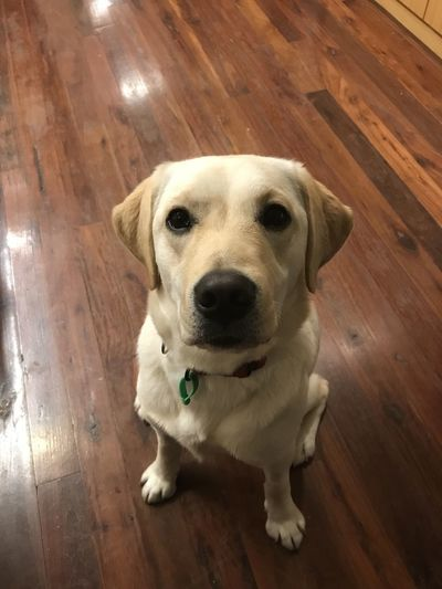 Domestic Dog Domestic Animals Pets One Animal Canine Mammal Flooring Looking At Camera Portrait Hardwood Floor Indoors  High Angle View No People Sitting Labrador Labrador Puppy