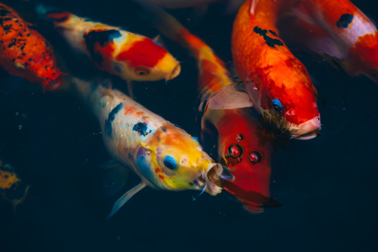 Close-up of koi carps swimming in sea
