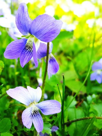 Flower Nature Fragility Beauty In Nature Freshness Purple Flower Head Petal Close-up Focus On Foreground Blooming Violet