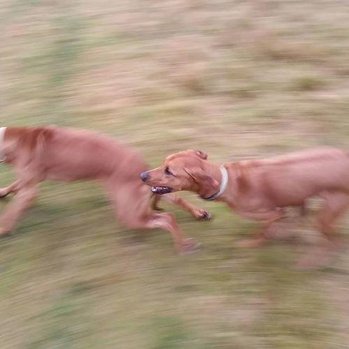 Die wilde Jagd Teil 1 😊 Ridgeback Rhodesian Instadogs Liondog Löwenhund Rhodesianridgeback Joy Ohana Picoftheday Projectrr Rr Hund Dog Prinzessin Jagd Hunt Nofilter