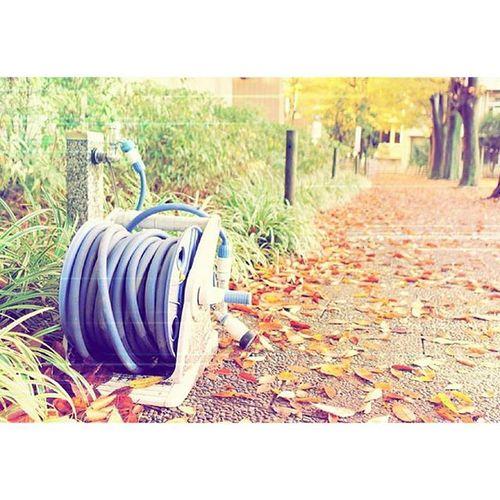 秋もあっという間 落ち葉 銀杏の気 外苑前 秋
