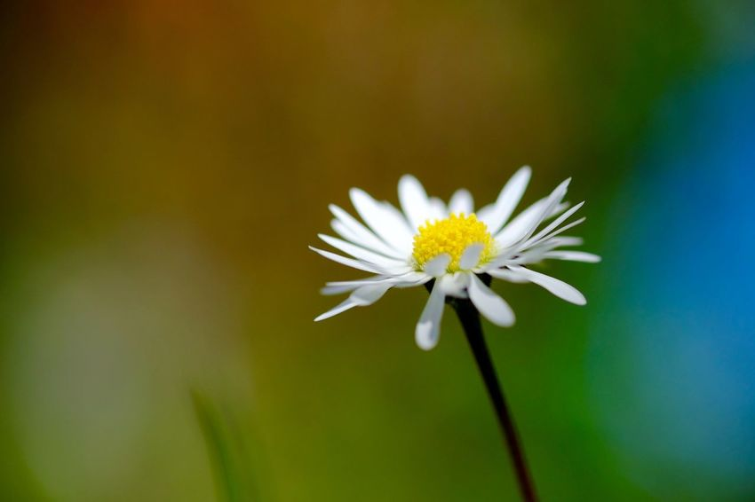 Daisy Daisy ♥ Flower Flower Head Focus On Foreground Macro_collection Macroclique Macroflowerphotography Softness White