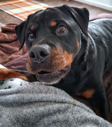Pawfect pout 🤗 Pets Mammal Domestic Animals Animal Themes One Animal Dog Looking At Camera Black Color Close-up Portrait No People Indoors  Day Beautiful Girl Rottweiler Cute Dog  Dogoftheday Dogs Of EyeEm Rottweilerlife Girlandherdog Rottweilergirls Animal Head  Blackandtan Poutselfie Kiss
