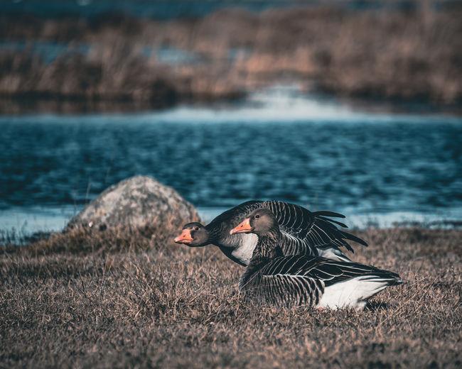 View of goose bird on grass