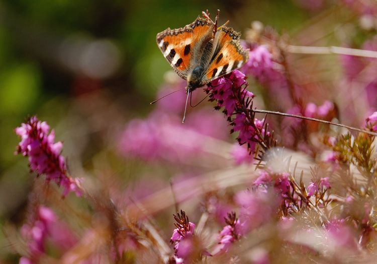 Flower Animal Themes Insect Selective Focus Close-up Petal Butterfly - Insect Outdoors Butterfly ❤ Analog Lens