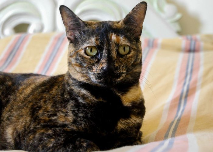 Esfinge Pets Portrait Feline Domestic Cat Looking At Camera Home Interior Close-up Pet Clothing Cat Stray Animal At Home Pet Bed Adult Animal Animal Eye Home