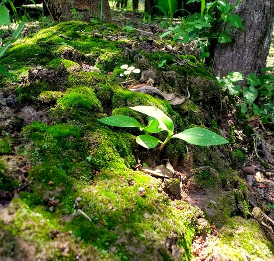 Plant Growth Green Color Nature Day No People Selective Focus Beauty In Nature Tranquility Forest Close-up Surface Level Leaf Moss Plant Part Outdoors Covering