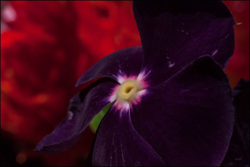 DT _ Vinca annual @ Union Sq. - 7/17/17 EyeEm Macro Collection Malephotographerofthemonth Micro-NIKKOR 55mm W/ Close-up Ring My Point Of View My Thanks To The Vendors Pollinating Flowers W/ My Camera The Purist (no Edit, No Filter)