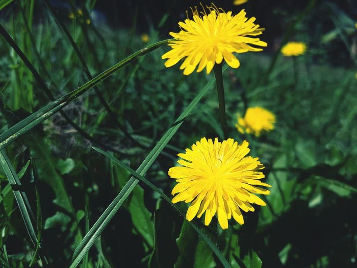Everything is just fine and dandelion Plants 🌱 Plants Plants And Flowers Flowers Nature Photography