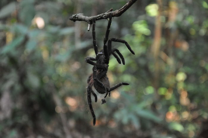 Amazon Amazonas Amazonas-Brasil Animal In Nature Animal Wildlife Animals In The Wild Beauty In Nature Brazil Focus On Foreground Latin America Nature Outdoors Rainforest South America Spider Spider Tarantula Tarantulas Bokeh Animals
