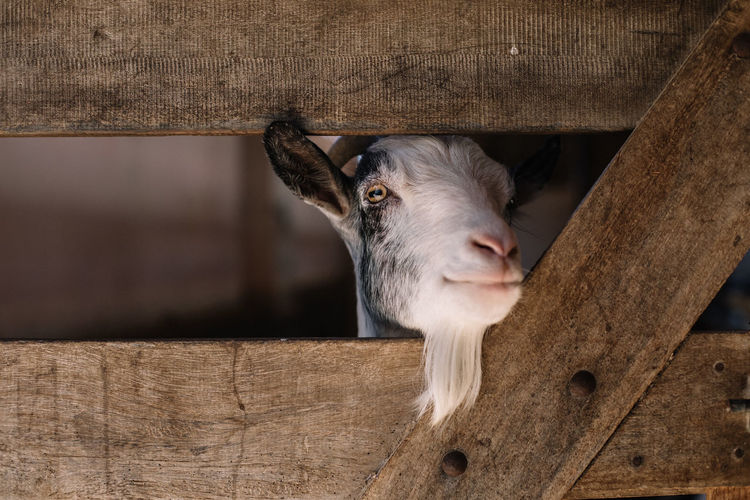 Close-Up Of Goat Looking Through Wooden Fence