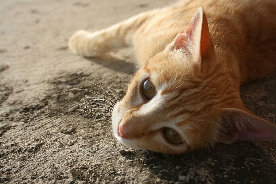 Taking a sunbathe Cat Cat Lovers EyeEm Gallery Red Cat At Home Pets Pet Photography