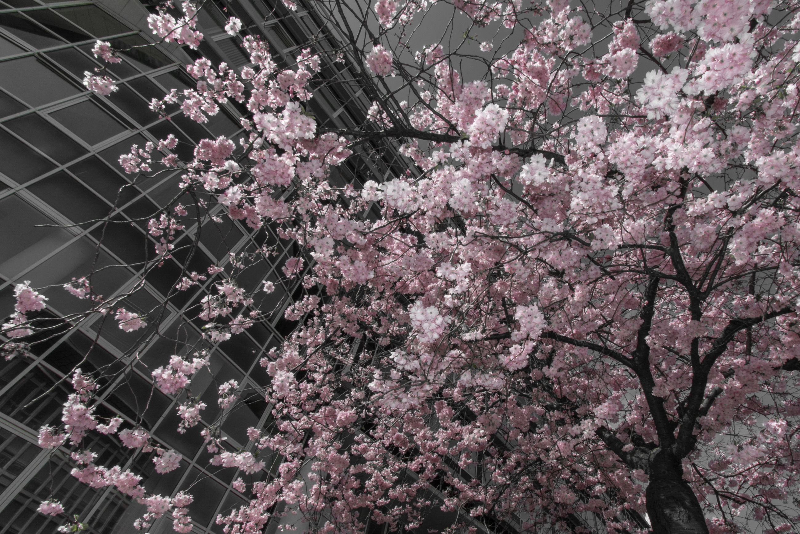 CHERRY BLOSSOM TREE IN CITY