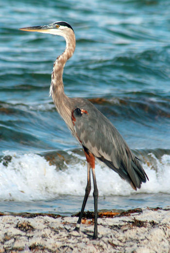 Side view of gray heron at beach