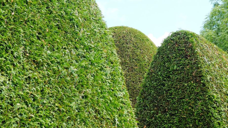 Hedge Green
