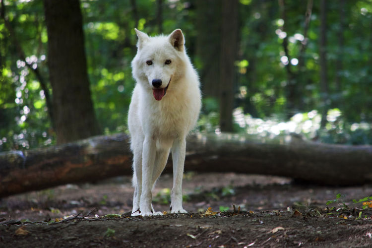 Portrait Of Arctic Wolf Standing In Forest