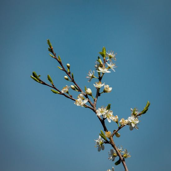 Paradise track Beauty In Nature Blue Branch Cherry Blossom Clear Sky Close-up Copy Space Day Flower Flowering Plant Fragility Freshness Growth Low Angle View Nature No People Outdoors Plant Sky Springtime Tree Vulnerability