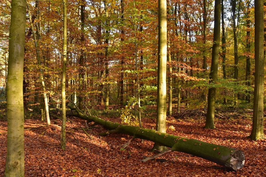 Beech Forest Sonian Forest Autumn colors Tree Plant Land Nature No People Beauty In Nature Growth Day Sunlight Forest Tranquility Scenics - Nature Outdoors Tree Trunk Trunk Field WoodLand Autumn Tranquil Scene Environment