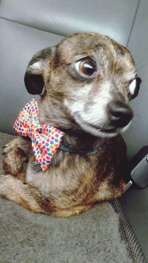 BJ Chihuahualovers My Little Puppy Teacupchihuahua Cute Pets