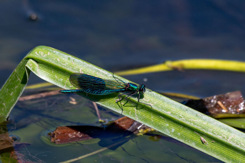 Male banded demoiselle damselfly, calopteryx splendens perched on a blade of reed