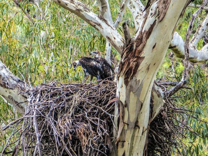 It was taken in Melbourne, Victoria, Australia. Eagle Animal Wildlife Animals In The Wild Bird Bird Nest Bird Of Prey Branch Eaglet Tree Tree Trunk Wedge-tailed Eagle