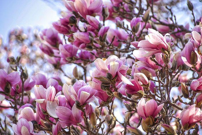 Magnolia Flowers Magnolia Spring