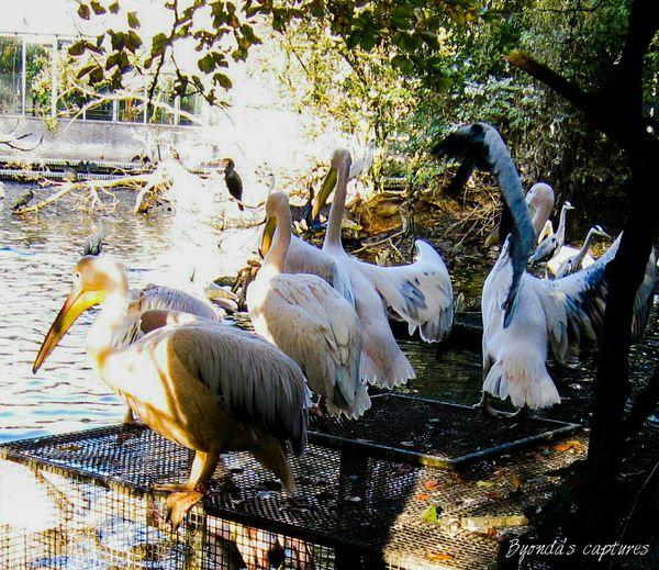Pelicans Zoo Animals  Artis  Amsterdam Byondascaptures Photography Www.facebook.com/byondascaptures
