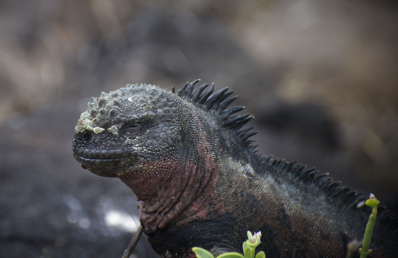Close-up of marine iguana at galapagos islands